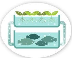 Aquaponics: the merger of fish farming and hydroponics